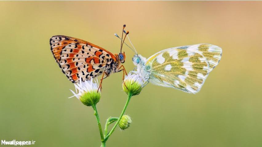 والپیپر عاشقانه دو پروانه