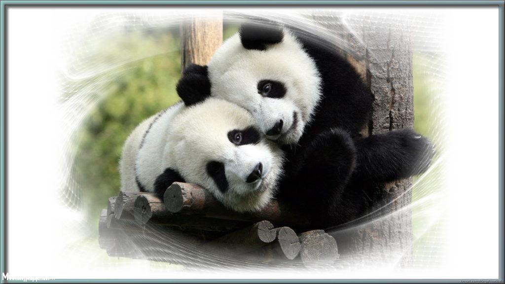 Panda Full HD Background