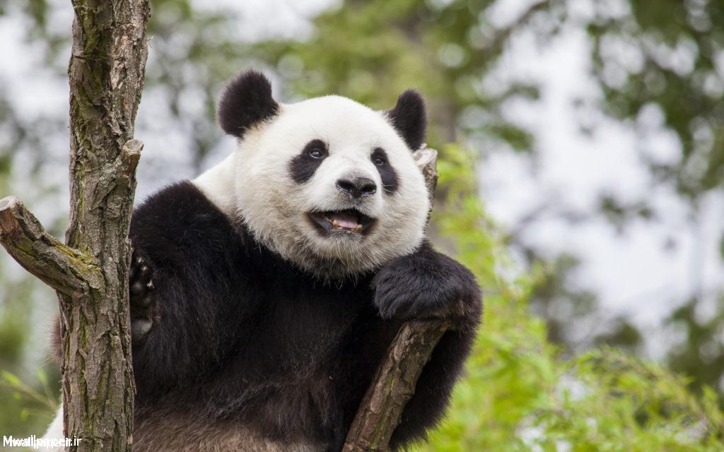 Panda Widescreen Background
