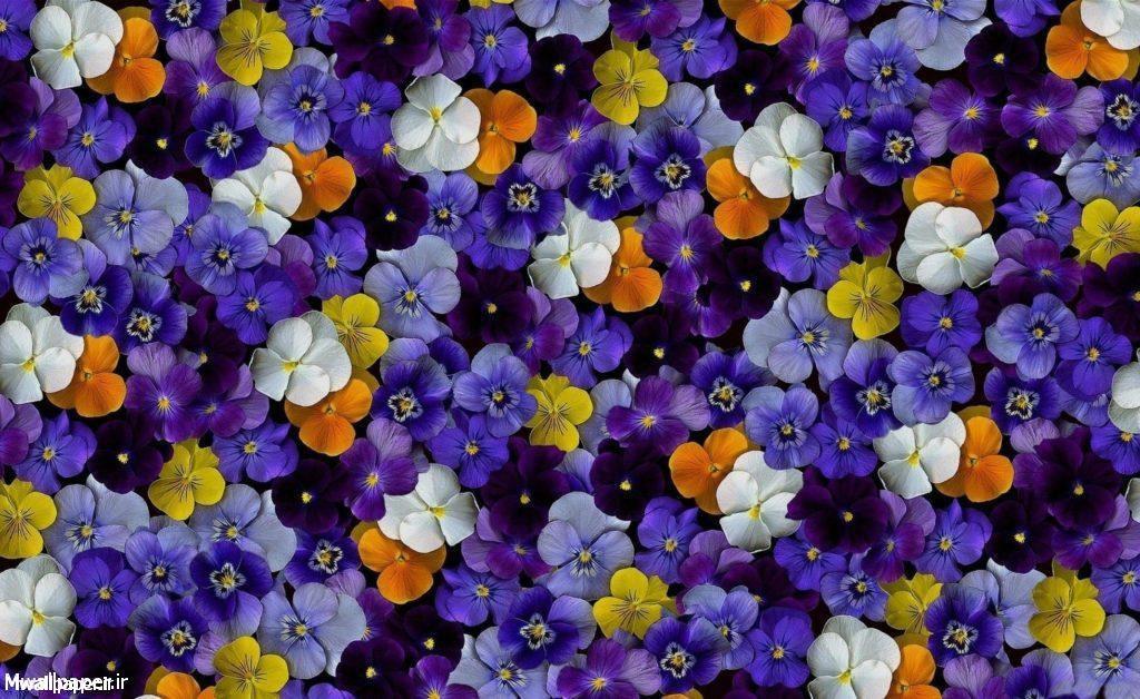 والپیپرهای گل بنفشه