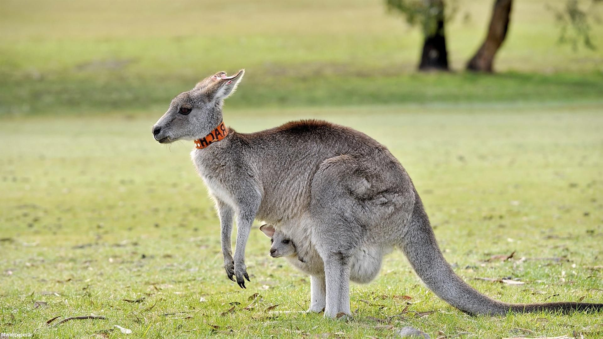pictures of baby kangaroos